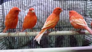 Fun facts about the Red Factor Canary